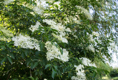 Elder flower Royalty Free Stock Photos