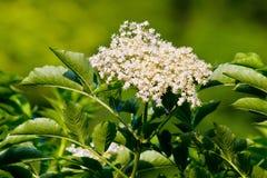 Elder flowers. A branch with elder flowers Stock Image
