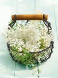 Elder Flowers Stock Image