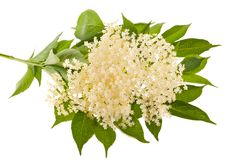Elder flowers Stock Images