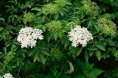 Elder flowers. Blossom elder bush in close up Stock Photo