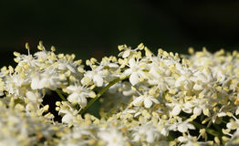 Elder flowers bunch Royalty Free Stock Photo