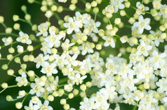 Elder flowers Stock Photo