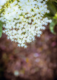 Elder flowers on dark bokeh background, outdoor Royalty Free Stock Photography
