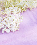 Elder flowers on pink, toned Stock Photos