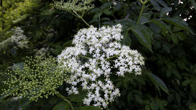 Elder flowers. Tee white wood Royalty Free Stock Image