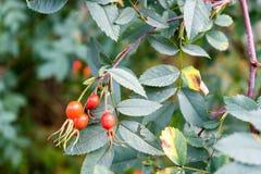 Elder fruit on plant. With leaf close up Royalty Free Stock Images