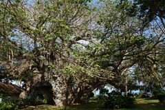Elder and largest over 500 years old baobab tree in Kenya Stock Images