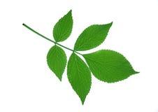 Elder leaf. Isolated on white Royalty Free Stock Images