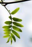 Elder leaves in spring Stock Images