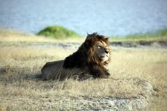 Elder Lion of Ngorongoro Crater Royalty Free Stock Photos