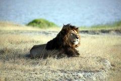 Elder Lion of Ngorongoro Crater. Elder male lion, with a dark brown mane, relaxing in Ngorongoro Crater, Tanzania Royalty Free Stock Photos