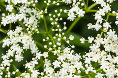 Elder in the morning light. Sambucus (Elder or Elderberry) closeup Stock Photo