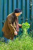 Elder person weed cleaning garden care Royalty Free Stock Image