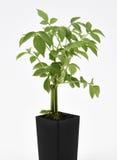 Elder Plant. A fresh Elder Plant in a pot Stock Photography