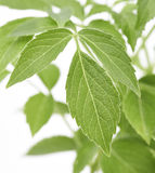 Elder Plant Leaves Royalty Free Stock Images