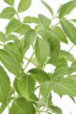 Elder Plant Leaves Royalty Free Stock Image