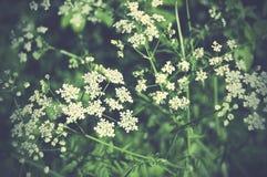 Elder plants growing in summer. Elder plants growing with beautiful green background Stock Images