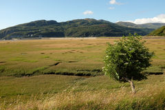 Elder and salt-marsh. An elder flower tree on a grass bank overlooks a saltmarsh with wooded mountains in the distance Stock Image