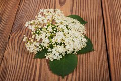 Elder Sambucus nigra Royalty Free Stock Photo