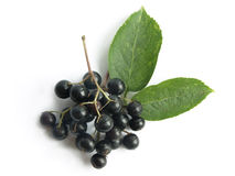 Elder (Sambucus nigra). The fruits of black elderberry are used in traditional medicine to treat bronchitis, cough, infections, fever stock image