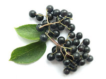 Elder (Sambucus nigra). The fruits of black elderberry are used in traditional medicine to treat bronchitis, cough, infections, fever stock images