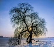 The Elder Tree Royalty Free Stock Photo