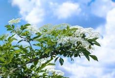 Elder white flowers. Elderberry flowers on the bush, set against a sky Stock Photography
