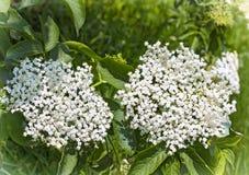 Elder white flowers. White elderberry flowers Sambucus nigra Stock Photo