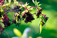 elderberries стоковые фотографии rf