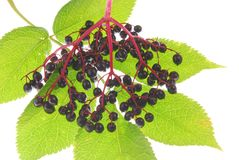 Elderberries Royalty Free Stock Photos
