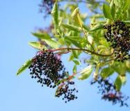 Elderberries Stock Photography