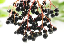 Elderberries Stock Photo