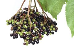 Elderberries Royalty Free Stock Image