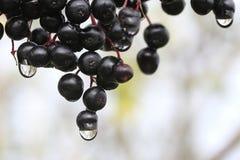 elderberries Fotografía de archivo