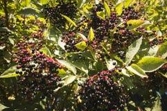 elderberries Foto de archivo libre de regalías