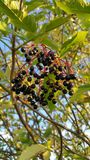 elderberries Image stock