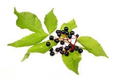 elderberries Imagens de Stock