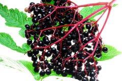 elderberries dojrzałe Obraz Royalty Free
