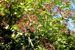 Elderberries growing on an elder Royalty Free Stock Photography