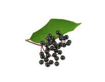 Elderberries with leaf Stock Image