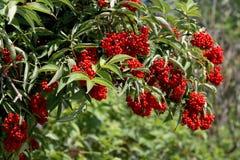 Elderberries (Sambucus racemosa). Green bush with clusters of red berries Royalty Free Stock Image