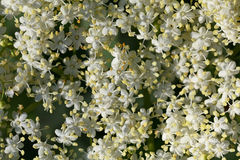 Elderberry λουλούδια Στοκ εικόνες με δικαίωμα ελεύθερης χρήσης