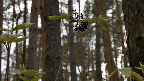 Elderberry στο δάσος απόθεμα βίντεο