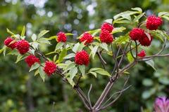 elderberry Красный расти ягоды стоковое фото