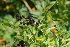 elderberry zdjęcia royalty free