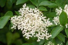 elderberry fotografia stock