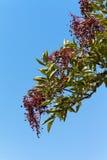 elderberry Стоковые Изображения