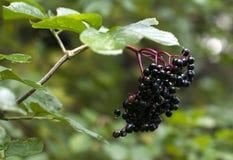 elderberry Стоковые Изображения RF