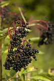 Elderberry Royalty Free Stock Photos